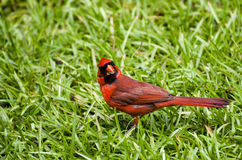 Male Cardinal Feeding Stock Image
