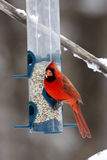 Male Cardinal. Feeding on Safflower seeds from a tube feeder Stock Photo