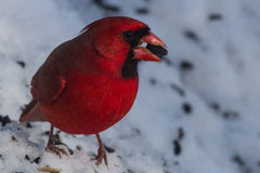 Male cardinal feeding in the snow Royalty Free Stock Image