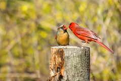 Male cardinal feeds female in courtship Royalty Free Stock Photo