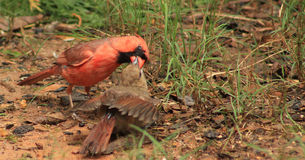 Male Cardinal feeds young Stock Photos