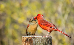 Male cardinal and  female in courtship Royalty Free Stock Photos