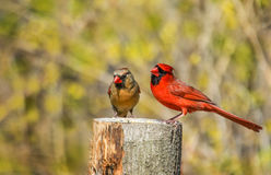 Male cardinal and  female in courtship Royalty Free Stock Image