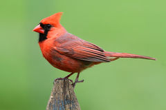 Male Cardinal On A Fence. Male Northern Cardinal (cardinalis cardinalis) on a fence with a green background Stock Images