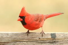 Male Cardinal On a Fence Stock Photos