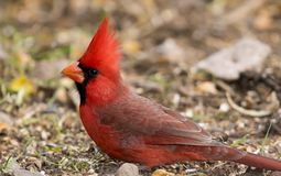 Brightly colored male northern cardinal stock photos
