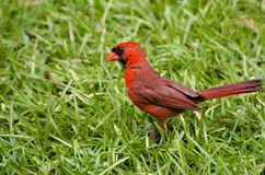 Male Cardinal in Grass Stock Photo
