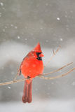 Male cardinal in heavy snow Royalty Free Stock Images