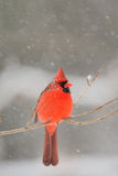 Male cardinal in heavy snow Stock Photo