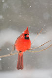 Male cardinal in heavy snow Stock Photos
