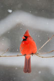 Male cardinal in heavy snow. Male cardinal perched on a branch during a heavy snow storm in winter Stock Images