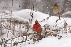 Male cardinal in heavy snow Stock Images