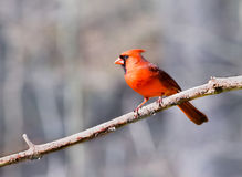 Male Cardinal isolated against a blue grey bokeh background. Male Northern Cardinal bird  Cardinalis cardinalis  perching on a branch against a winter forest Royalty Free Stock Photo