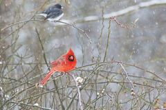 Male Cardinal and Junco in snowstorm. Redbird and Junco perched on a limb in the snow Stock Photo