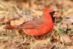 Male Cardinal On Leaves Royalty Free Stock Image