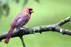 Male Cardinal on limb Royalty Free Stock Image
