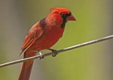 Male Cardinal on Limb Stock Image
