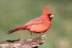 Male Cardinal On A Log Stock Photography