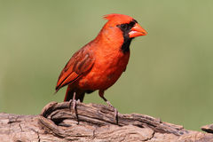 Male Cardinal On A Log Royalty Free Stock Photos