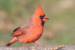 Male Cardinal On A Log Royalty Free Stock Images