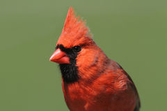 Male Cardinal On A Log Stock Photography