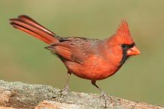 Male Cardinal On A Log Stock Photo