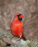 Male cardinal on the lookout. White sitting in a blue spruce royalty free stock photo