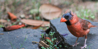 Male Cardinal-Molting 1 Stock Photos