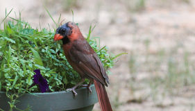 Male Cardinal-Molting 2. Male Cardinal on a planter in the molting stage Royalty Free Stock Image