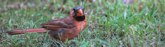 Really? Male Cardinal Stock Images