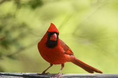 Male Cardinal Stock Image