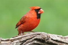 Male Cardinal. Male Northern Cardinal (cardinalis) with a green background Stock Images