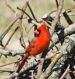Northern Male Cardinal Perched. Male Northern Cardinal Perched on a pile of Branches in Springtime stock photo