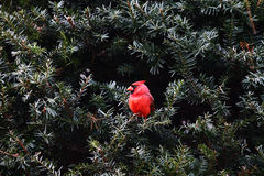 Male Cardinal Royalty Free Stock Images