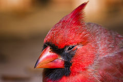 Male Cardinal, Outdoor Macro Photo Royalty Free Stock Images