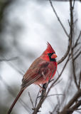 Male Cardinal Perched on a Barren Winter Tree Royalty Free Stock Images