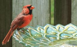 Male Cardinal perches on a glass bird bath. A Male Cardinal perched on a glass bird bath in Charlotte North Carolina royalty free stock image