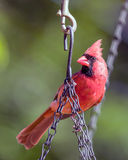 Male Cardinal. Perched on hanging basket chain Stock Photo