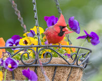 Male Cardinal. Perched in hanging flower basket Stock Photos