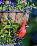 Male Cardinal. Perched in hanging flower basket Stock Photo