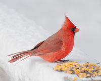 Male Cardinal. A Male Cardinal perched on a post with bird seed Royalty Free Stock Photos