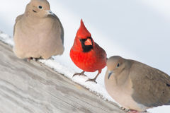 Male Cardinal. A Male Cardinal perched on a post with doves Royalty Free Stock Photos