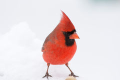 Male Cardinal. A Male Cardinal perched in the snow Royalty Free Stock Photography