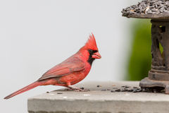 Male Cardinal. Perched on stone feeding platform Royalty Free Stock Photography
