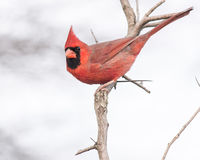 Male Cardinal. A Male Cardinal perched on a tree branch Royalty Free Stock Photo