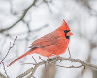 Male Cardinal Royalty Free Stock Image
