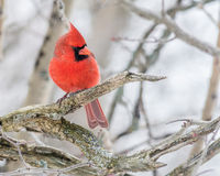 Male Cardinal. A Male Cardinal perched on a tree branch Royalty Free Stock Photos