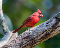 Male Cardinal. Perched on tree branch Royalty Free Stock Photography