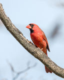 Male Cardinal. Perched on tree branch Royalty Free Stock Photo