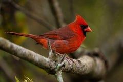 Male cardinal Stock Photography